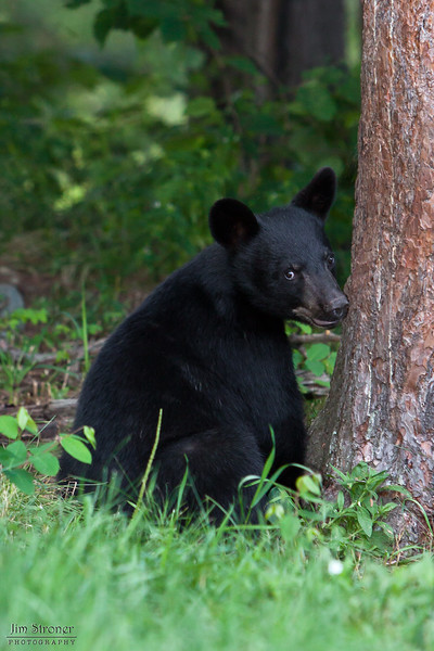 Image of Jim - one of RC's 3 male cubs taken July 2010. Jim was born in January 2010. Ursus americanus (American Black Bear).