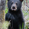 Image of June's son Jordan taken May 2009. Jordan was born in January 2009. Ursus americanus (American Black Bear).