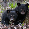 Image of June's cubs Jewel and Jordan taken May 2009. Cubs were born in January 2009. Ursus americanus (American Black Bear).