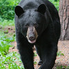 Image of Pete taken July 2011. Pete was from June's first litter in 2005. Ursus americanus (American Black Bear).