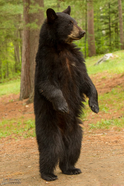 Image of nervous yearling Rockie taken late May 2012 right after family breakup.  Rockie was born in 2011. Ursus americanus (American Black Bear).