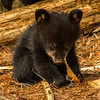 Image of Juliet's cub Sam chewing on cedar bark taken April 2012.  Juliet was born in 2003 and her cubs in January 2012.   Ursus americanus (American Black Bear).