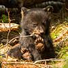Image of Juliet's cub Sam taken April 2012.  Juliet was born in 2003 and her cubs in January 2012.   Ursus americanus (American Black Bear).
