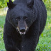 Image of Shylow taken July 2010. Shylow was born in 2002. Ursus americanus (American Black Bear).