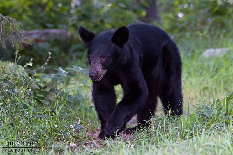 WRI-Black-Bear-9215
