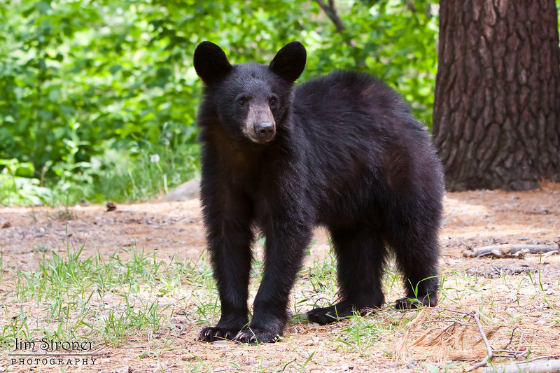 Image of Ty as a yearlyng taken May 2010. Ty was born in 2009. Ursus americanus (American Black Bear).