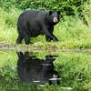 Image of unknown male bear crossing old beaver damn taken July 2012.   Ursus americanus (American Black Bear).