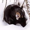 Image of Lily taken at her den in December 2010. Lily was born in 2007. Ursus americanus (American Black Bear).