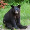Image of yearlying Doug taken taken May 2011. Doug born in 2010. Ursus americanus (American Black Bear).