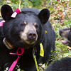 Image of Lily playing with her cub Faith taken September 2011 shortly after changing batteries in her GPS unit. More specifically Faith is playing with Lily as Lily is starting to slow down as denning season approaches and I suspect she would rather be left alone to rest! Lily was born in 2007 and is decorated with colorful ribbons to help identity her as a collared research bear during hunting season. Ursus americanus (American Black Bear).