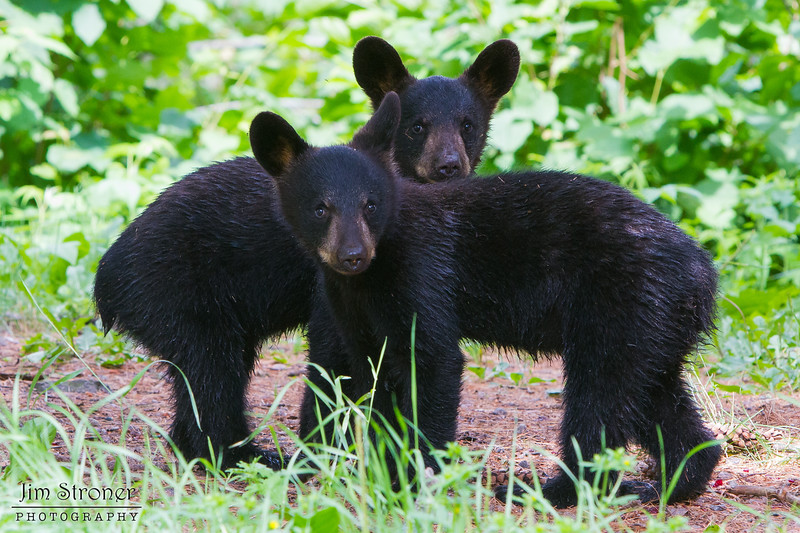 Image of two of Braveheart's three cub's taken July 2011. Cubs were born on 2011. Ursus americanus (American Black Bear).