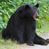 Image of One-eyed Jack taken July 2011. Jack is one of the large males who pass through the research area.   Ursus americanus (American Black Bear).