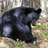 Image of Hope taken September 2011. This is one of the last images I took of Hope. Ursus americanus (American Black Bear).