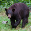 Image of Crackle taken July 2011. Crackle is one of the large males who pass through the research area.  The scars are new from the 2011 mating season.  Ursus americanus (American Black Bear).