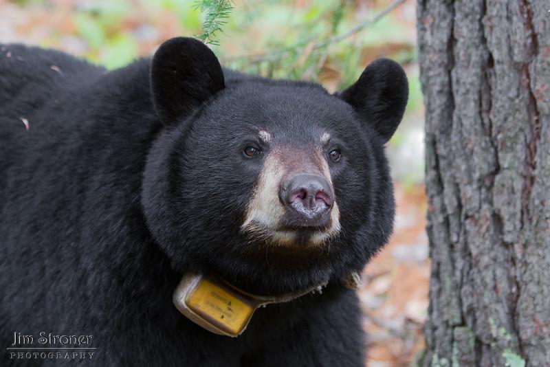 Image of Jo taken May 2011. Jo was born in 2008. Ursus americanus (American Black Bear).
