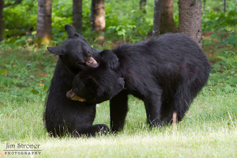 Image of siblings Gina and Squawker taken July 2011.   They was born in 2009. Ursus americanus (American Black Bear).