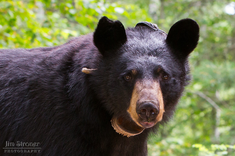 Image of Colleen taken July 2011. Colleen was born in 2003.    Ursus americanus (American Black Bear).