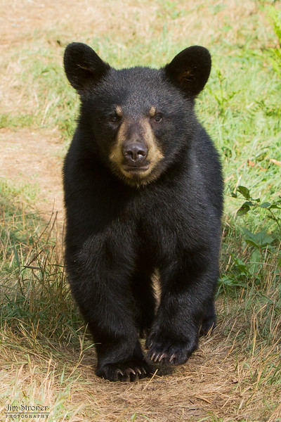 Image of one of Ursula's two cub's taken August 2011. The cub was born in 2011. Ursus americanus (American Black Bear).