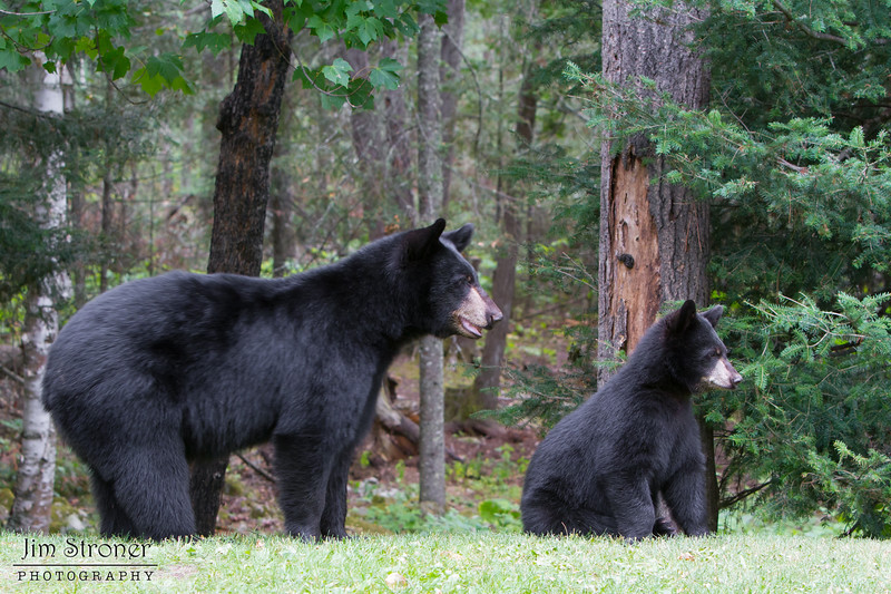 Image of Hope and Faith taken August 2011. Hope was born in 2010 and Faith on 2011. Ursus americanus (American Black Bear).