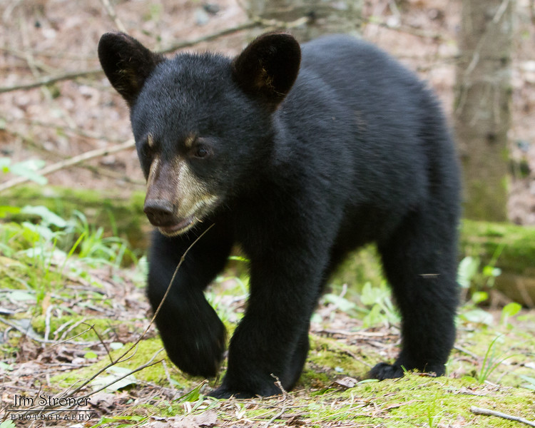 Image of Faith taken July 2011. Faith was born in January 2011.  Ursus americanus (American Black Bear).