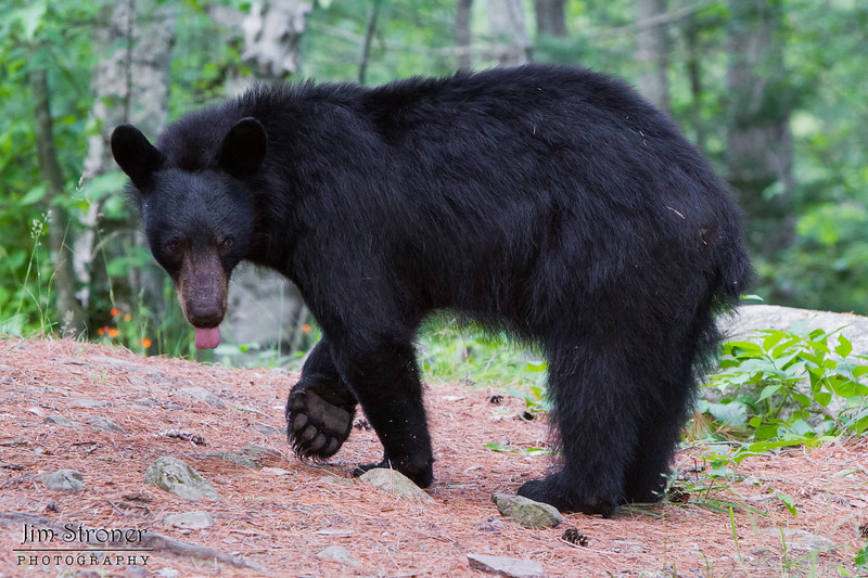 Image of Colleen's son Squawker taken July 2011.   Squawker was born in 2009. Ursus americanus (American Black Bear).