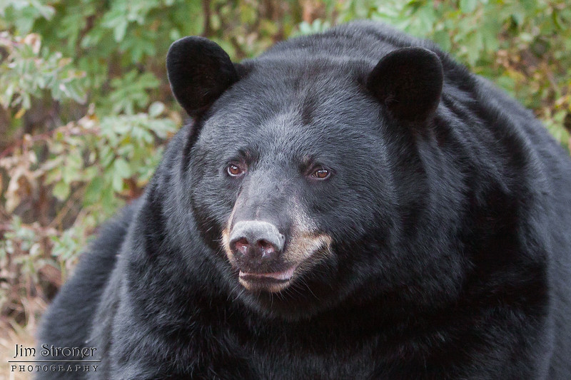 Image of RC with her winter coat taken September 2011. RC was born in 1999. Ursus americanus (American Black Bear).