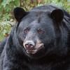 Image of RC with her winter coat taken September 2011. RC was born in 1999. Ursus americanus (American Black Bear).