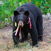Image of Ursula taken August 2011. Ursula was born in 2005 and is decorated with colorful ribbons to help identity her as a collared research bear during hunting season. Ursus americanus (American Black Bear).