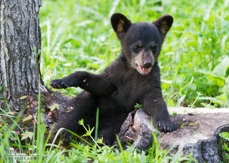 Image of Faith playing on a stump taken June 2011. Faith was born in January 2011. Ursus americanus (American Black Bear).