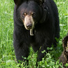 Image of Lily feeding on clover and pea vine taken June 2011. Lily was born in 2007. Ursus americanus (American Black Bear).