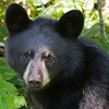 Image of Faith taken September 2011. Faith was born on January 2011. Ursus americanus (American Black Bear).