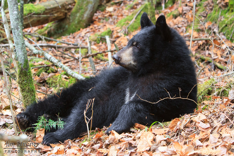 """Image of Victoria resting on a fall day taken October 2011. I like this image because you can really see her """"V"""" blaze. Victoria was born in 2011. Ursus americanus (American Black Bear)."""