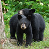 Image of Ursula's two cubs Oso and Urso taken August 2011. Cub was actually resting it's head on the other cub. They were born on January 2011. Ursus americanus (American Black Bear).