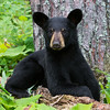 Image of June's female cub Aster taken July 2011. Aster was born in January 2011. Ursus americanus (American Black Bear).