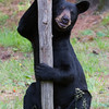 Image of Colleen's daughter Gina taken July 2011.   Gina was born in 2009.  Ursus americanus (American Black Bear).