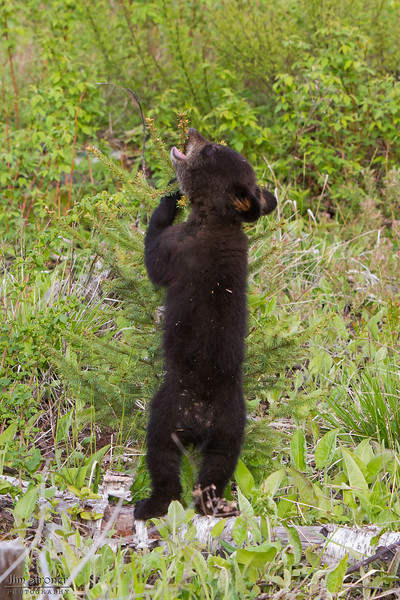 Image of Faith checking out a tree her mother Lily just marked taken May 2011. Faith was born in 2011. Ursus americanus (American Black Bear).