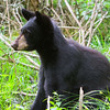 Image of Hope as a yearling taken July 2011. Hope was born in 2010. Ursus americanus (American Black Bear).