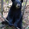 Image of Faith taken September 2011. Faith was born on January 2011. Ursus americanus (American Black Bear).