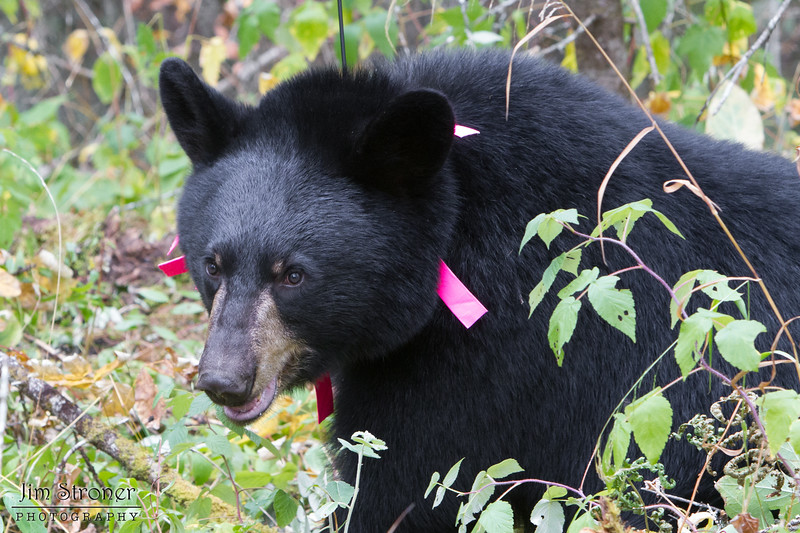 Image of Hope taken September 2011 shortly after finally getting her collared. Hope was born in 2010 and is decorated with colorful ribbons to help identity her as a collared research bear during hunting season. Unfortunately she did not keep the collar on very long. Ursus americanus (American Black Bear).