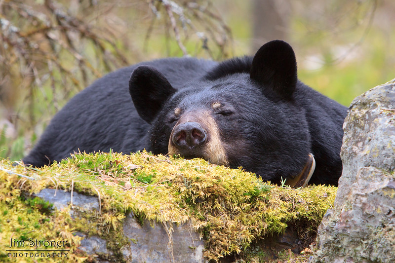 Image of June taken May 2011. June is resting while her two cubs do the same in a tree close by. June was born in 2001. Ursus americanus (American Black Bear).