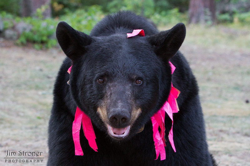 Image of Cookie taken August 2011. Cookie was born in 2005 and is decorated with colorful ribbons to help identity her as a collared research bear during hunting season. Ursus americanus (American Black Bear).