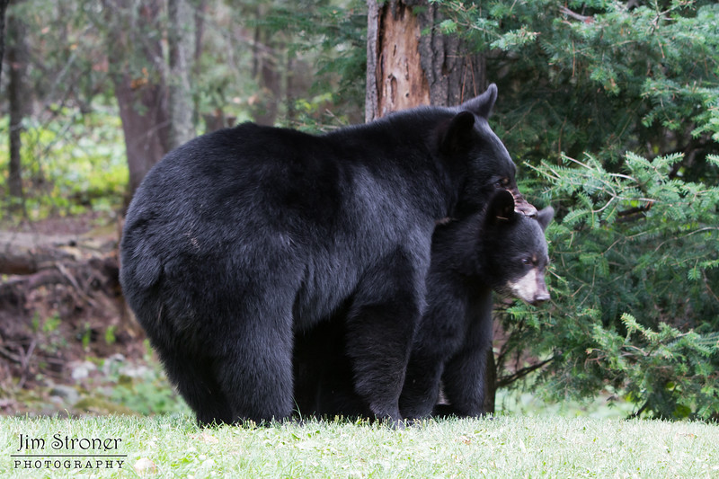 Image of Hope and Faith playing taken August 2011. Hope was born in 2010 and Faith on 2011. Ursus americanus (American Black Bear).