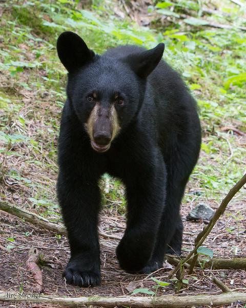 Image of Hope as a yearling taken July 2011. Hope was born in 2010. Ursus americanus (American Black Bear).