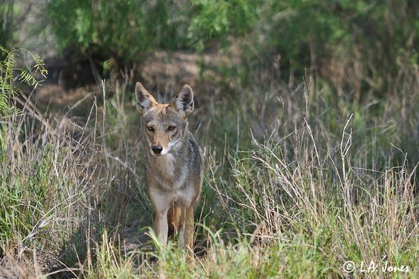 Coyote_LAJ7280