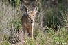 Coyote_LAJ7295