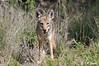 Coyote_LAJ7294