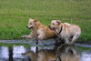 Dogs 'Jake'  and 'Gus' Racing after Stick,<br /> Golden Retriever and Yellow Lab Racing for Stick