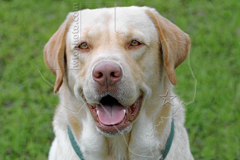 Dog 'Gus'<br /> Yellow Lab Portrait