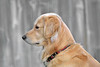 Dog 'Jake' Wating for Mom's Car,<br /> Golden Retriever Patiently Wating
