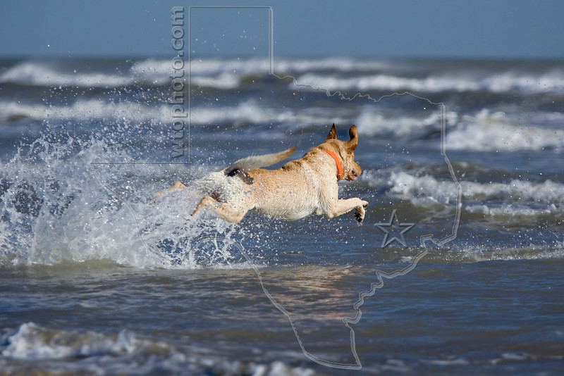 Dog 'Junior' at the Beach,<br /> Yellow Lab Retriever Chasing Stick at Beach